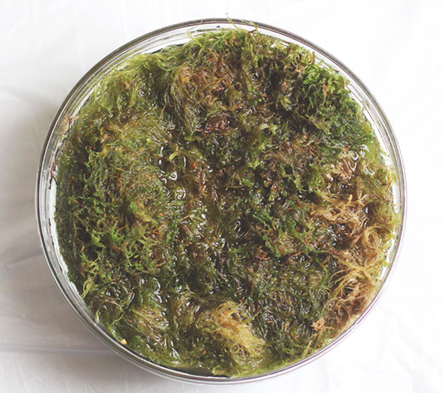 Soaking sphagnum moss
